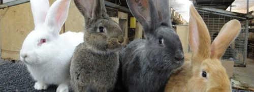 кролик, кролиководство
